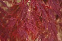Japanese Maple Crimson Queen
