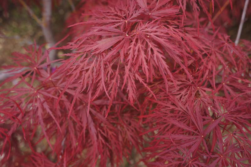 Japanese-Maple-Crimson-Queen Japanese Application Form on sit nai, seasons kanji written,