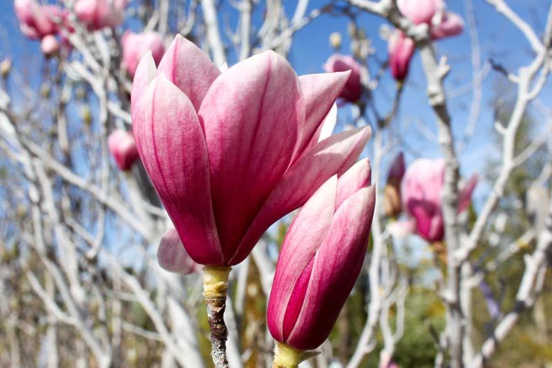 Magnolia Saucer