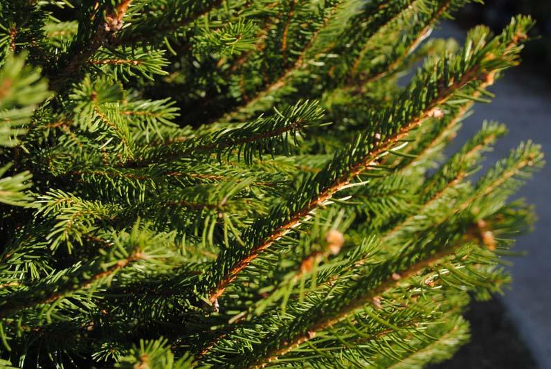 Norway Spruce Macro