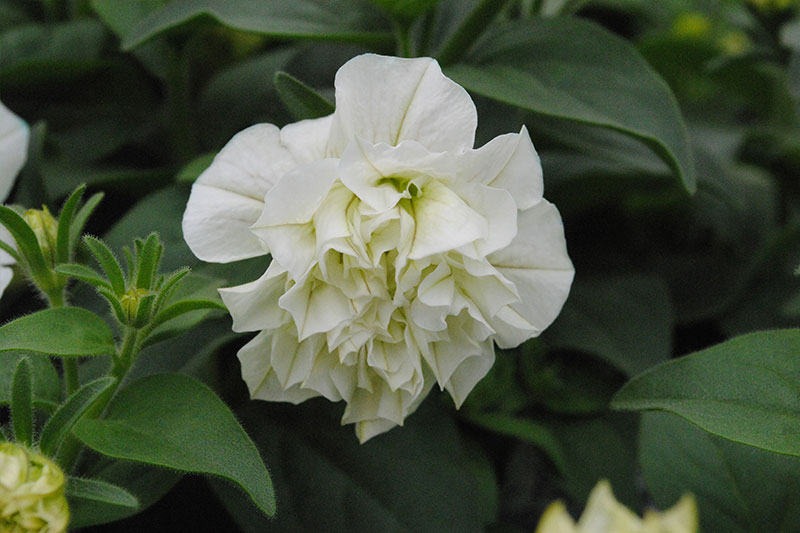 Petunia Double White