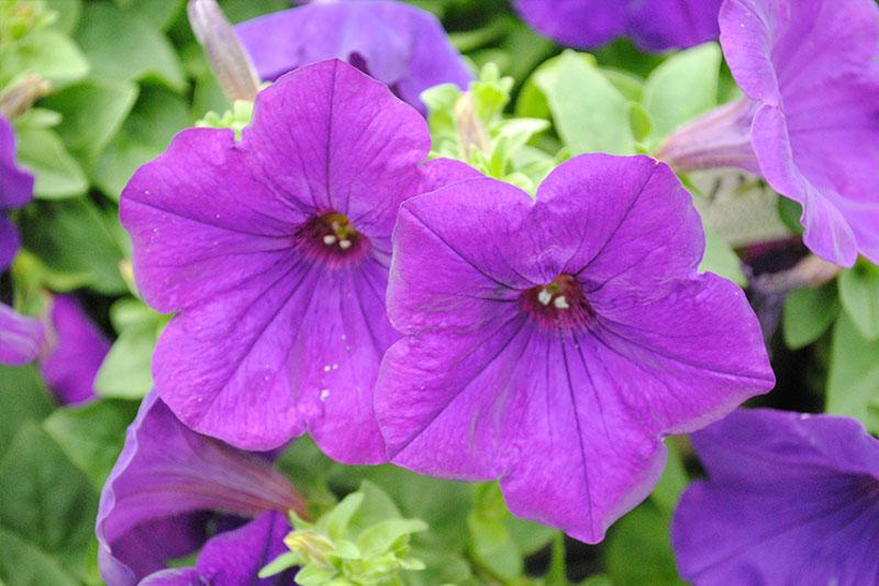 Petunia Sanguna Blue