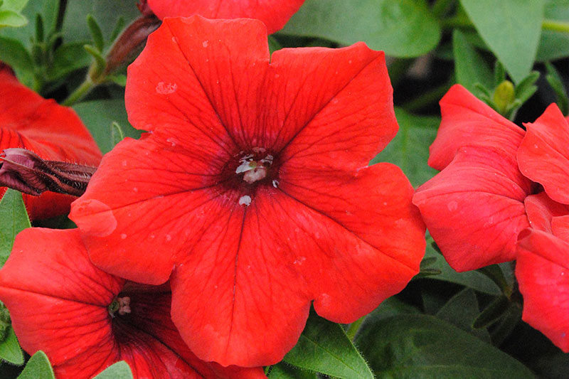 Petunia Superfinia Deep Red