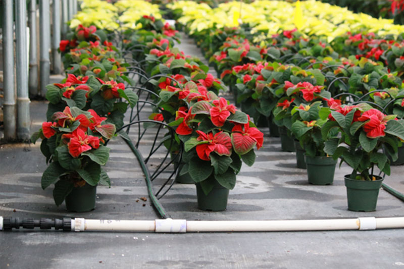 Westwood Grown Poinsettias