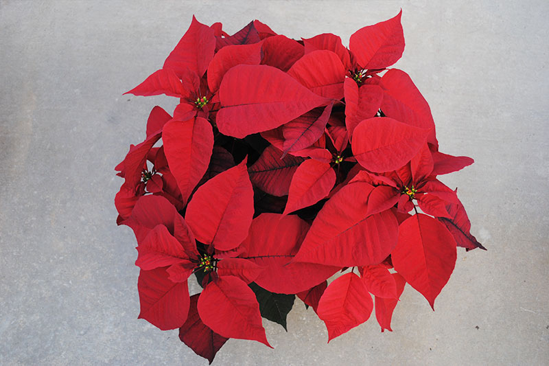 Poinsettia Prestige Red