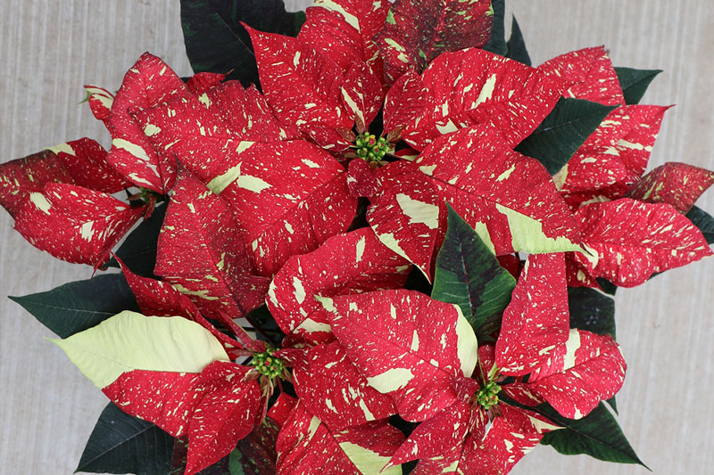 Poinsettia Red Glitter