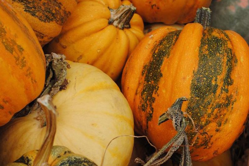 Pumpkin Acorn