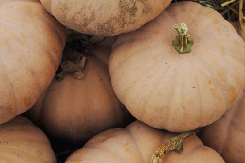 Pumpkin Cheddar