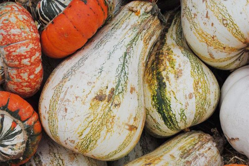 Pumpkin Cushaw