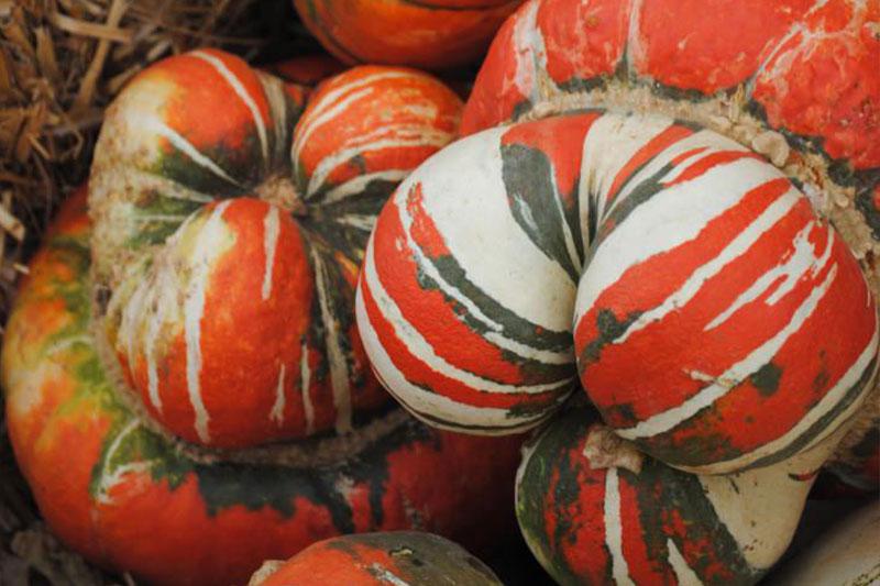 Pumpkin Turks Turbine