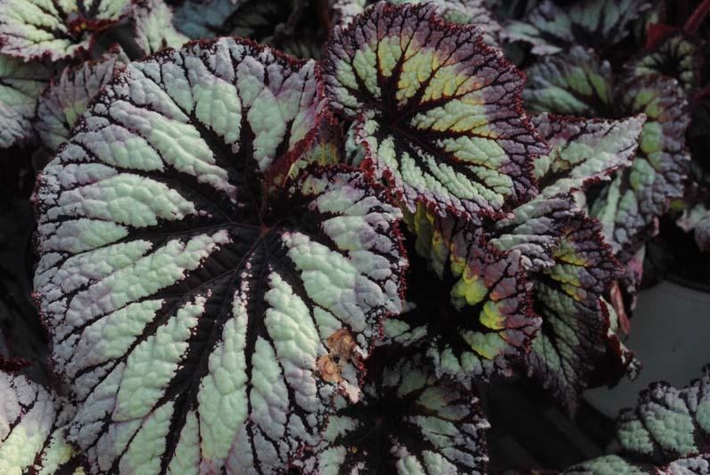 Rex Begonia Fancyleaf