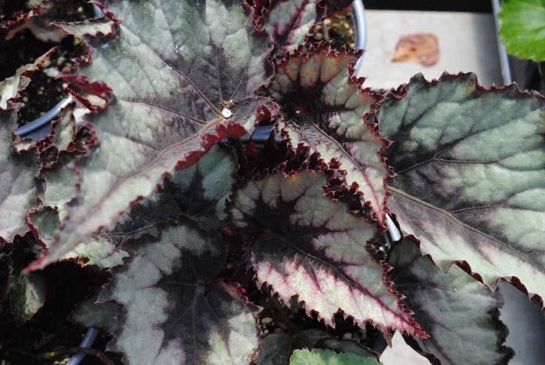 Rex Begonia Magma