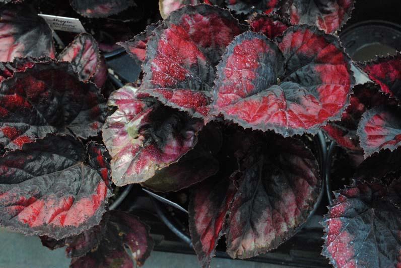 Rex Begonia Red Kiss