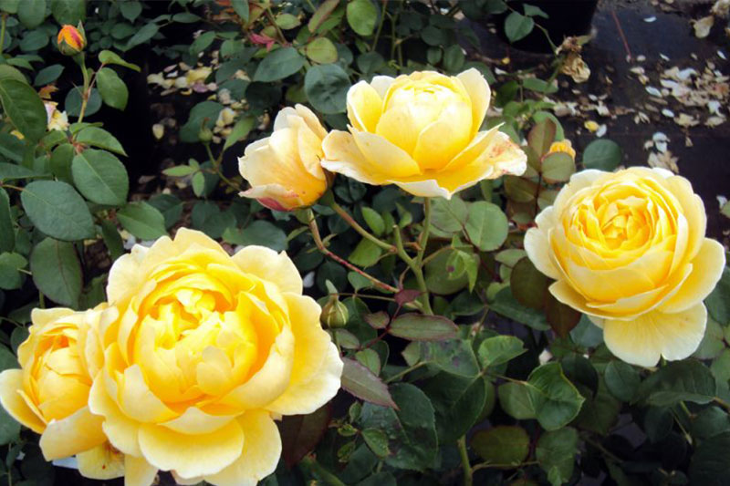 Rose Charlotte Rose