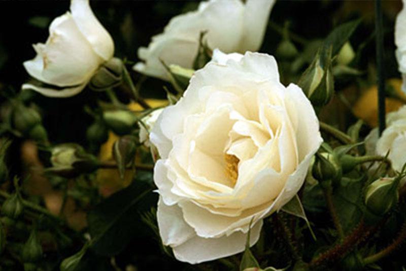 Rose Cloud