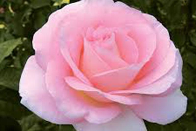 Rose Falling In Love