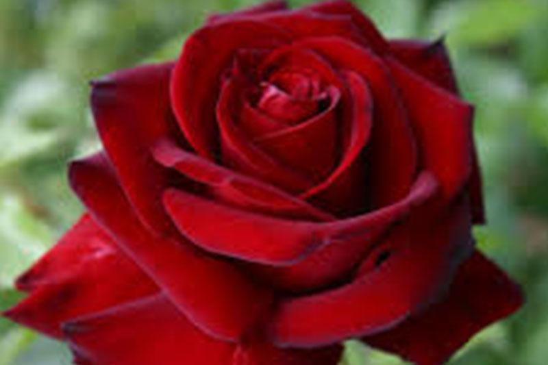 What Is Voodoo >> Hybrid Tea Roses - Westwood Gardens