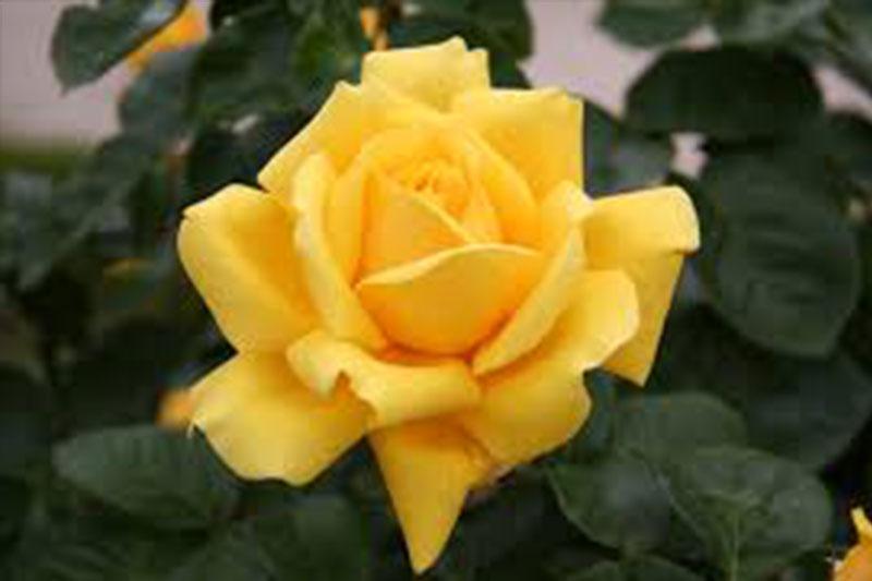 Hybrid Tea Roses Westwood Gardens