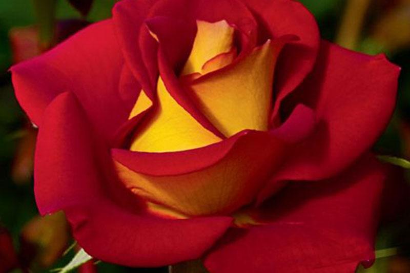 floribunda  u0026 grandiflora roses