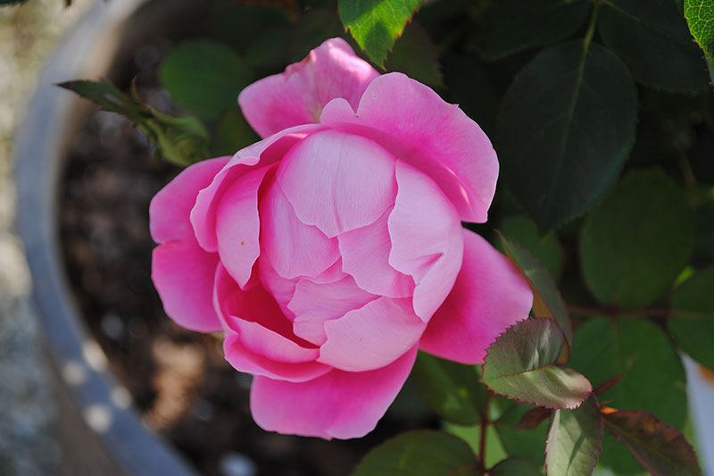 Rose Knock Out Double Pink