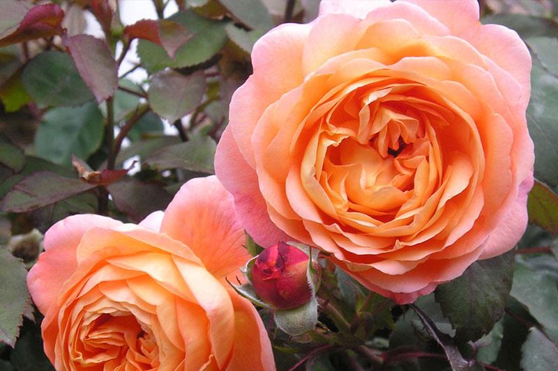 Rose Lady Emma Rose