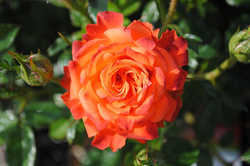 Rose Mandarin Sunblaze