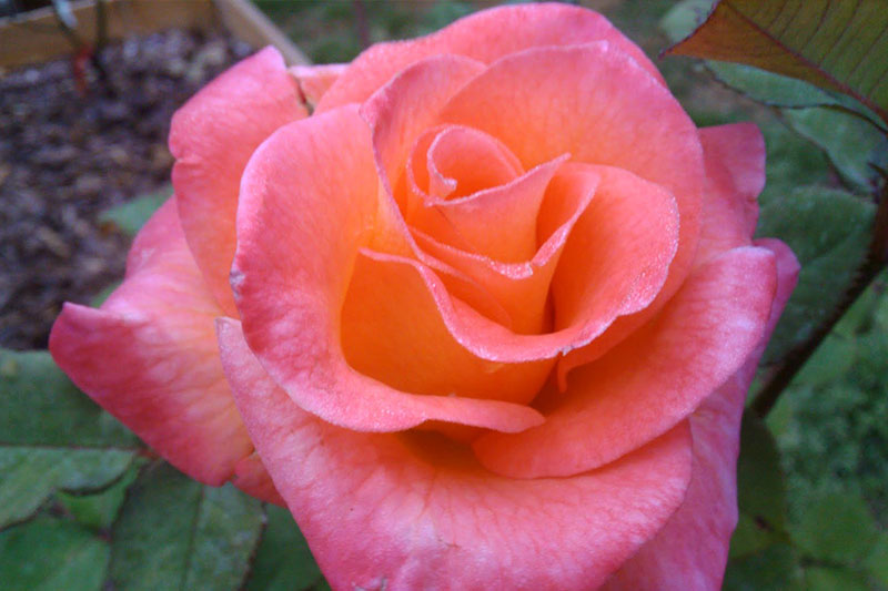 Rose Mardi Gras