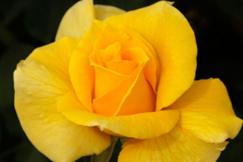 Rose Midas Touch