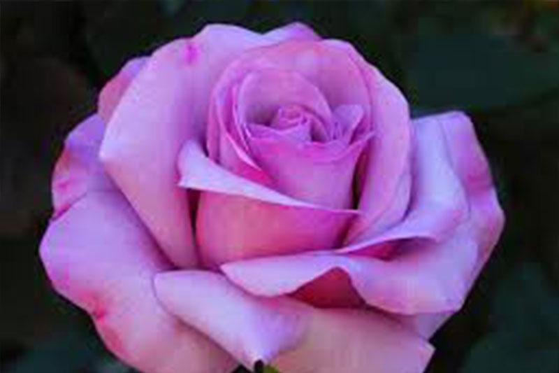Rose Neptune