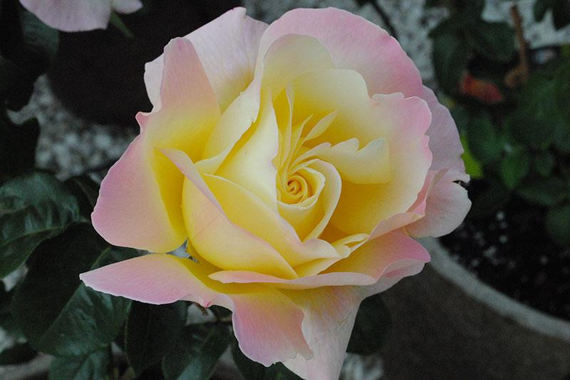 Rose Peace