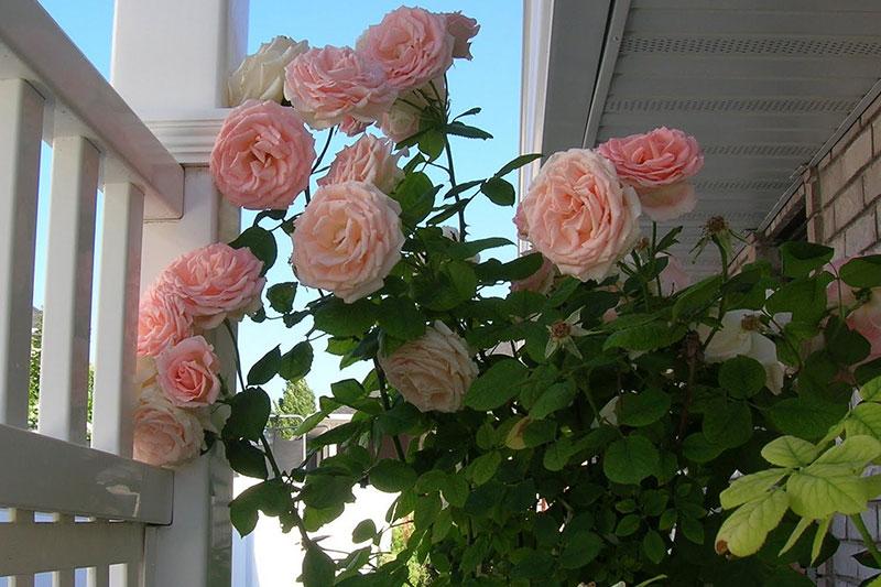 Roses Westwood Gardens