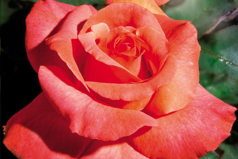 Rose Sedona