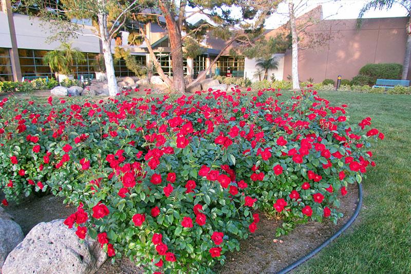 Rose Thrive