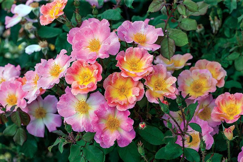 Rose Watercolors
