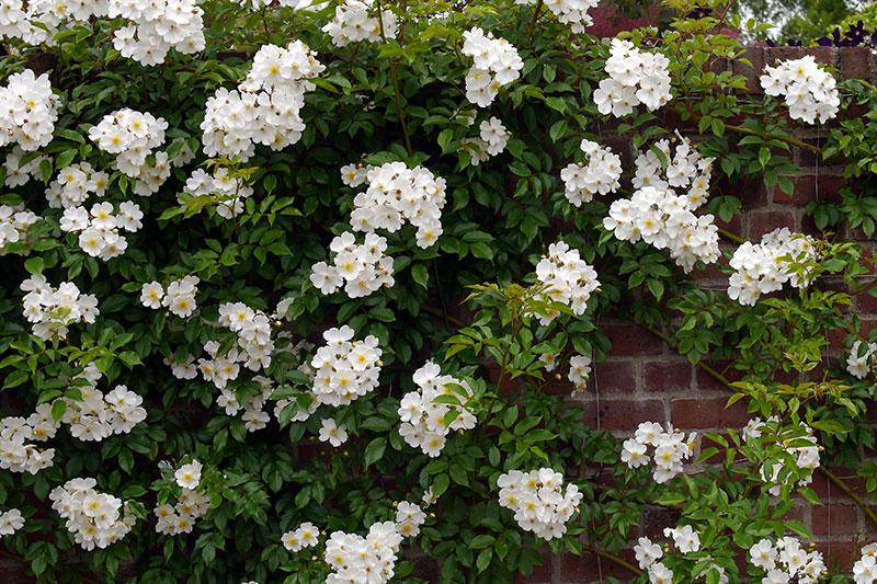 Rose White Dawn