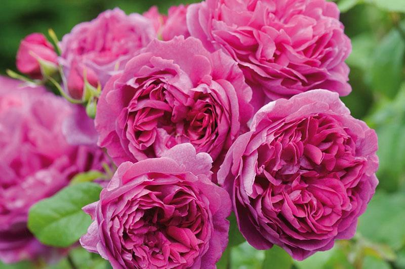 Rose Young Lycidas