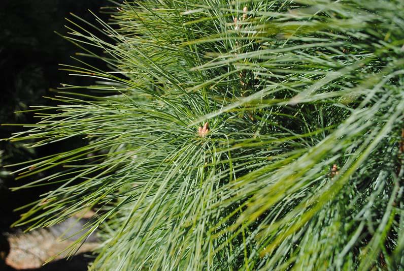 White Pine Macro