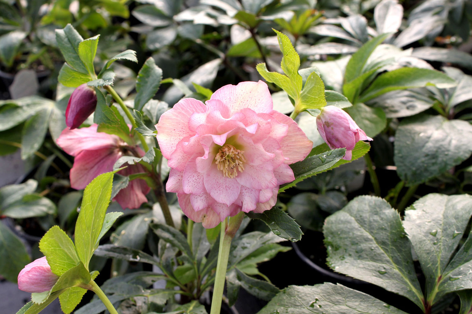 Helleborus Maid Of Honor