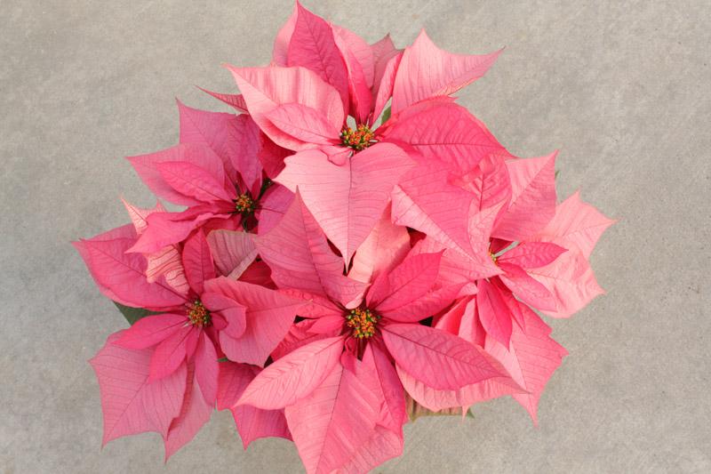 enduring pink poinsettia