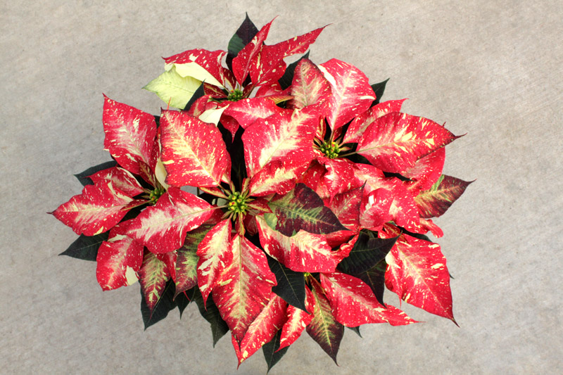 jingle bell rock poinsettia