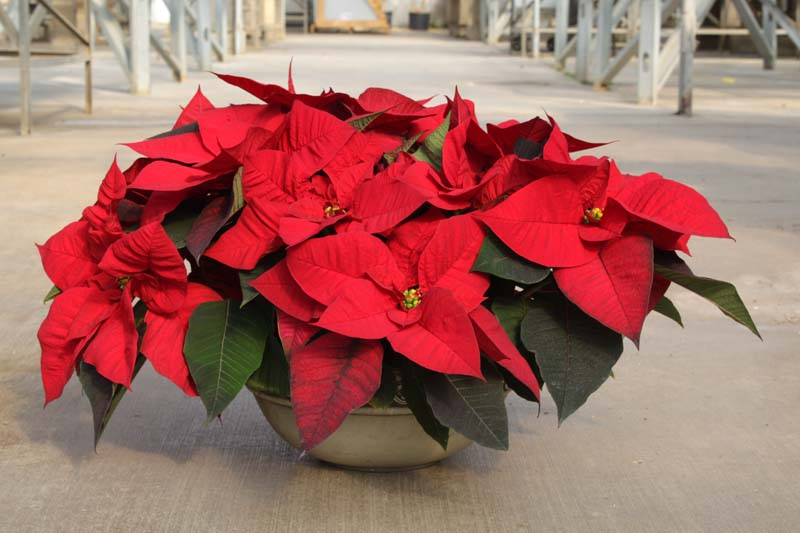 large pan poinsettia