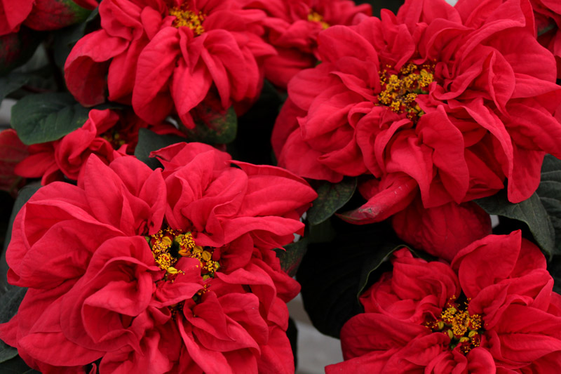 Poinsettia Winter Rose