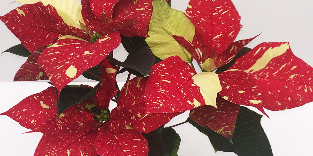 Care Tips Tricks For Your Locally Grown Poinsettia Westwood